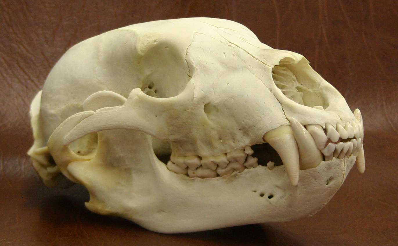 black bear skull pictures to pin on pinterest