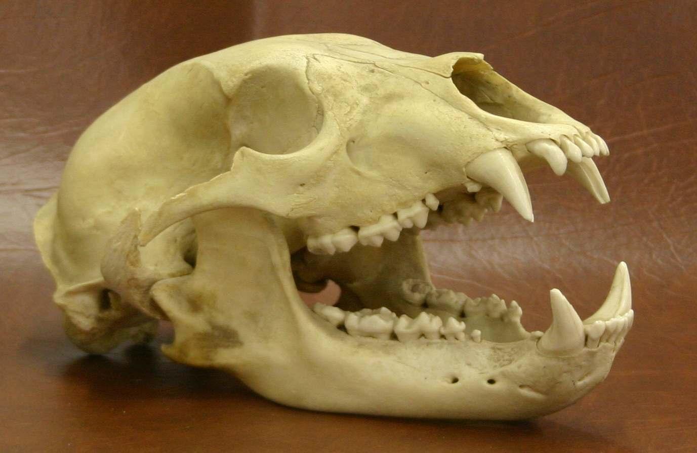 Dog Skull For Sale