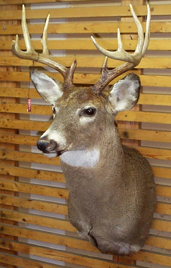 Whitetail Deer Head Mount